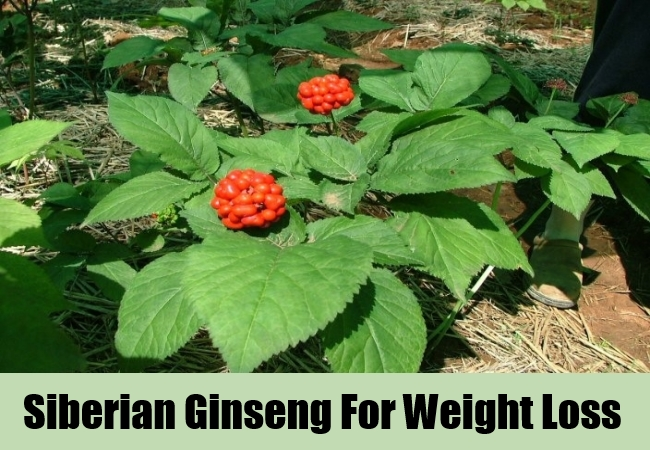 Siberian Ginseng For Weight Loss
