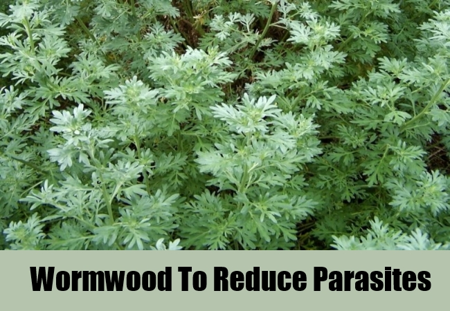 Wormwood To Reduce Parasites