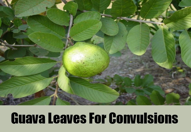 Guava Leaves For Convulsions