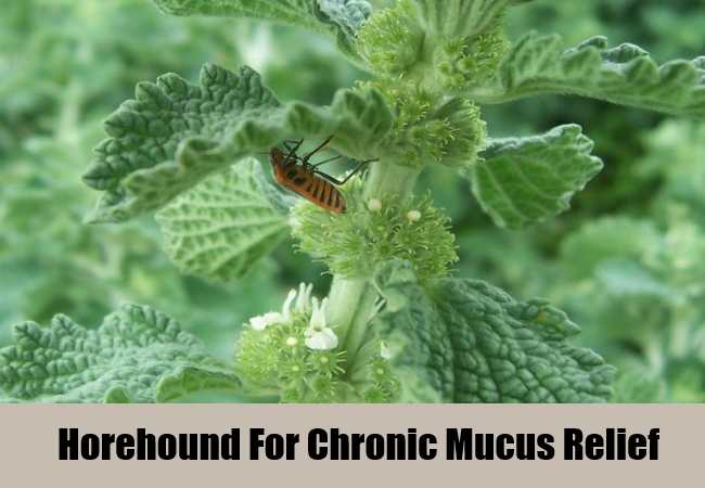 Horehound For Chronic Mucus Relief