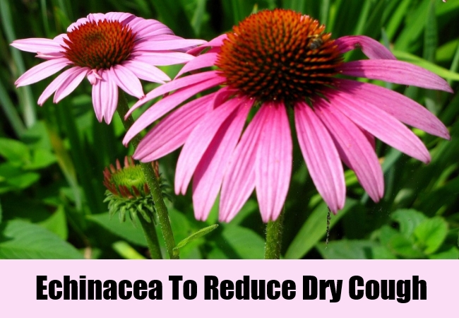 Echinacea To Reduce Dry Cough