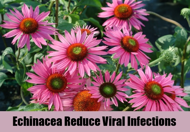 Echinacea Reduce Viral Infections