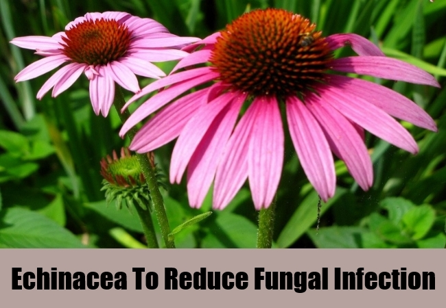 Echinacea To Reduce Fungal Infection