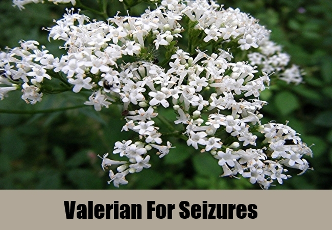 Valerian For Seizures
