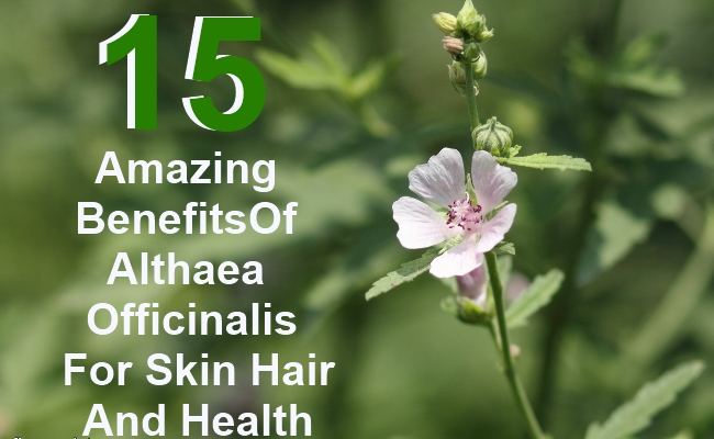 15 Amazing Benefits Of Althaea Officinalis For Skin Hair And Health