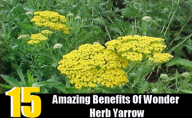 15 Amazing Benefits Of Wonder Herb Yarrow