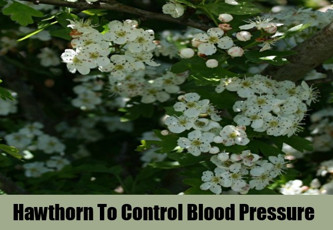 hawthorn-to-control-blood-pressure
