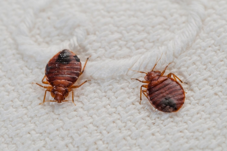 8 Home Remedies To Kill Bed Bugs
