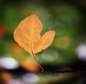 Michigan leaf