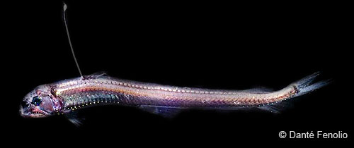 Image of a viperfish; notice the light organ on top of the extended dorsal fin ray