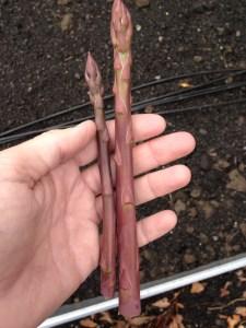 Purple asparagus April 2013