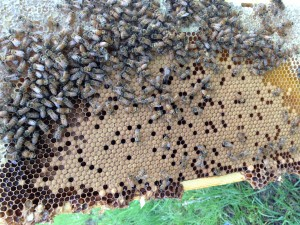 Bee frame May 22 2013