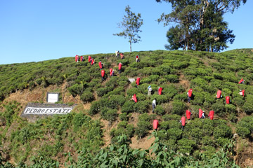 Tea pickers on the Pedro Estate