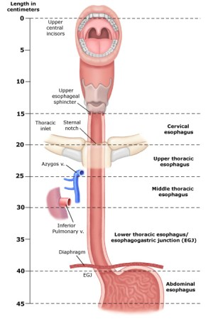 Parts of the Esophagus | Seattle Cancer Care Alliance