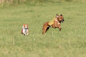 Chief trails the bigger Rhodesian Ridgeback, but not by much, in this phase of the long run.