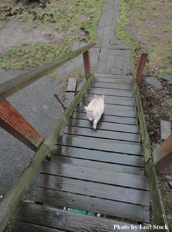One of Stock's concerns before purchasing a pig was how it would acclimate to stairs at home. Amy quickly left no doubt about that.
