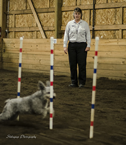 Sage eyes Bella, a Pumi handled by Karen Beattie-Massey, of Issaquah, as it moves through weave poles. To make certain none are missed, Sage counts each weave movement. Bella was a bronze medalist in the American and Caribbean agility championships in 2012 and won a place on the AKC U.S. Agility Team that competed in the 2013 European Open in Belgium.
