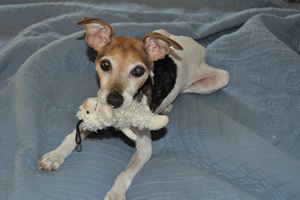 """The playful Jack Russell Terrier is saying, """"Don't think about taking this away from me."""""""