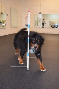 Loki smoothly maneuvers through the agility weave poles.