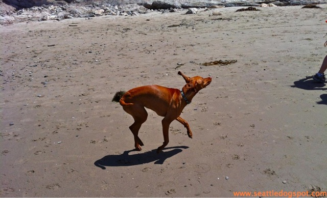 Prancing dog at Arroyo Burro off-leash beach. Photo from Seattle DogSpot.