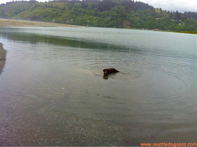 Dylan found a pool of quiet water to explore at Redwoods State and National Park. Photo grom Seattle DogSpot.