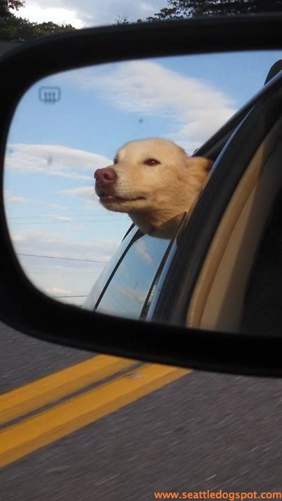 Nothing better than a car ride in July with your head out the window. Photo from Wolf Spirit Sled Rescue.
