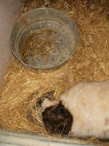 Barry was found dead in his kennel next to a bone dry water pail. Photo from OAS - Life inside the Sanctuary.