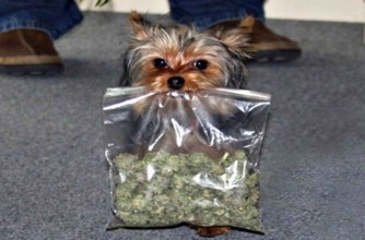Vets are seeing more dogs that have eaten marijuana-infused edibles. Photo from brianandjillshow.com.