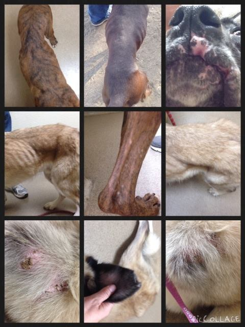 Order of photos in collage starting with the top row (going from left to right): 1st Row - 1) Buddy 2) Jesse 3) Buddy's jowls 2nd Row – 1) Crockett 2) Buddy's back leg (scars, and flat feet) 3) Crockett – loss of muscle mass/atrophy 3rd Row – 1) Puncture wounds on Crockett 2)Crockett's torn ear 3) Puncture wounds on Crockett. Image from Lionel's Legacy.