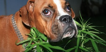 Memo to stoners: Seattle Hempfest 2015 is NOT dog friendly