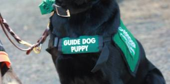 WSU Student Club Raises Puppies for Guide Dogs for the Blind
