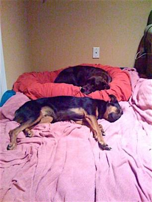 Canine Laryngeal Paralysis