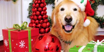 Golden Retrievers Christmas