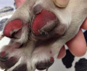 Protect your dog's paw pads in hot weather.