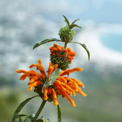wild dagga, kip dagga, Leonotis leonurus Plant