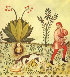 Mandragora_Tacuinum_Sanitatis