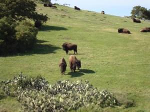 Catalina buffalo
