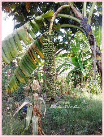 gambar pisang aneh pisangnya panjang sekali