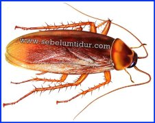 Genus dan spesies kecoa gambar kecoa bahaya cacing kecoa