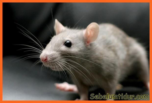 tips menghilangkan bau kencing tikus