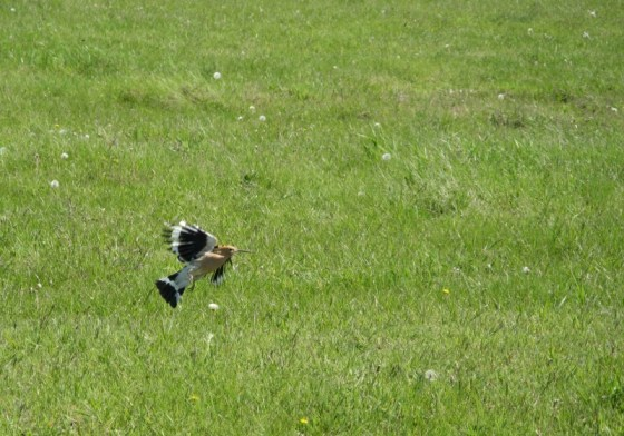Hoopoe taking off from a green field