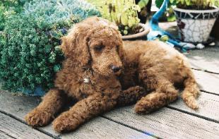 kahlu_puppy-310x197_1_