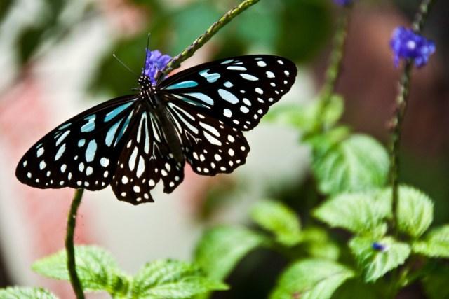 Purple Butterfly Valley, Maolin