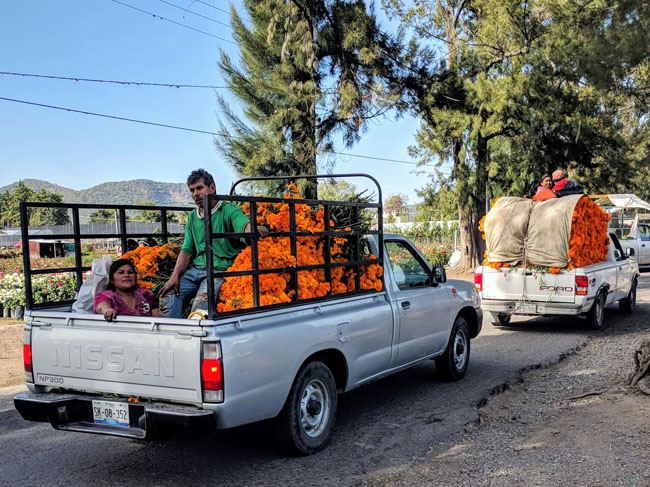 Delivering cempasuchil, a flower traditionally used for Day of the Day decoration, Atlixco