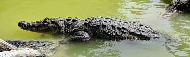 Crocodile in Río Lagartos - Yucatan peninsula trip