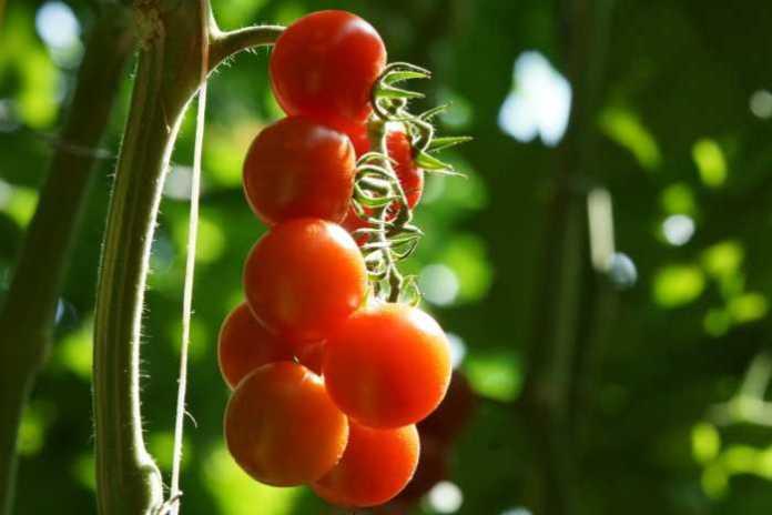 Pomodoro ciliegino pachino