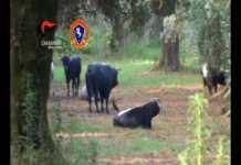 Le vacche sacre in un uliveto