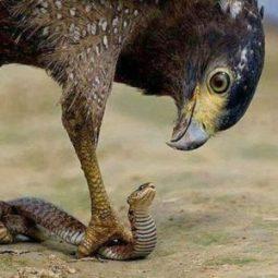 Eagle-n-snake