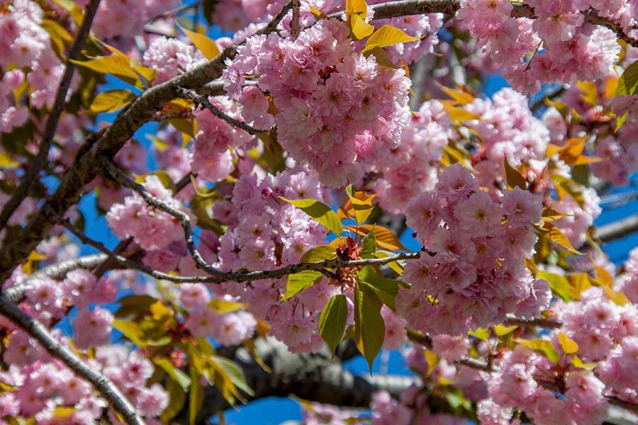 Сакура в ботаническом саду