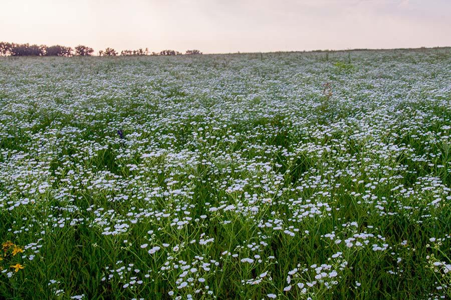 Цветущие поля ромашек